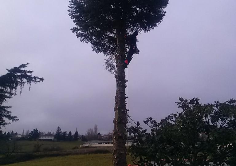 Abattage d'un abies concolor à Ecotay L'Olme (avant)